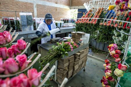 la compania: A lady packs roses ready for export at the Hacienda La Compania Roses Plantation near Cayambe in Ecuador. The major market for these roses is the USA.