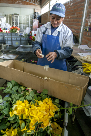 la compania: A worker seperating rose petals from damaged roses at the Hacienda La Compania Roses Plantation near Cayambe in Ecuador. These rose petals will be used in perfume production. Editorial