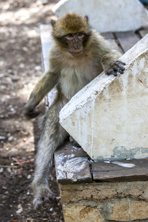 primates: A Barbary macaque sits on a seat in the cedar forest of Azrou in Morocco. Despite their name these primates are monkeys not apes.