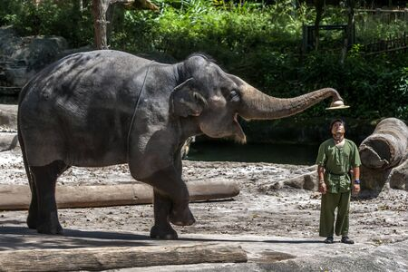mahout: An elephant removes the hat from a mahout during the elephant show at the Singapore Zoo in Singapore. Editorial