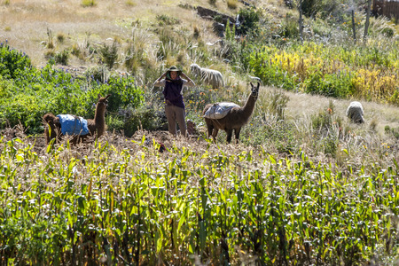 corn island: A foreign lady stands with two llamas amongst a field of corn on Moon Island located on Lake Titicaca in Bolivia