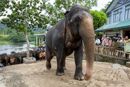 orphanage: Elephants from the Pinnawela Elephant Orphanage (Pinnawala) begin their walk from the Maha Oya River back to the orphanage. Twice a day the elephants walk through the streets of Pinnawela in Sri Lanka from the orphanage to the river to bathe.
