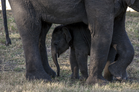 seeks: An elephant calf seeks protection between its mothers leg at the Minneriya National Park, located in central Sri Lanka.