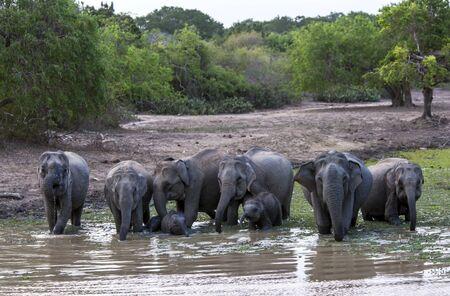 at waterhole: Una manada de elefantes y terneros beber en una charca en el Parque Nacional de Yala en el sur de Sri Lanka.