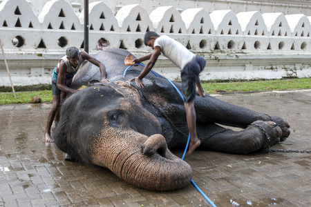 ceremonial: A ceremonial elephant is scrubbed clean by its mahouts at the Temple of the Sacred Tooth Relic comlex in Kandy, Sri Lanka during the Esala Perahera Festival. Editorial
