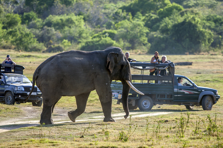 An elephant walks past tourist jeeps in Minneriya National Park in the late afternoon. Sri Lanka. Stock Photo - 55991733