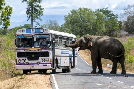 handouts: An elephant, waiting for hand-outs of food from passing vehicles, blocks the road near Kataragama in Sri Lanka.