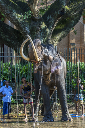 be dressed in: A ceremonial elephant lifts a restraining chain over its head after being washed by a group of mahouts in the Temple of the Sacred Tooth Relic complex in Kandy in Sri Lanka . As evening approaches the elephant will then be dressed and parade in the Esala
