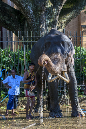 be dressed in: A ceremonial elephant lifts a restraining chain after being washed by a group of mahouts in the Temple of the Sacred Tooth Relic complex in Kandy in Sri Lanka . As evening approaches the elephant will then be dressed and parade in the Esala Perahera throu Editorial