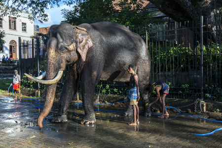 ceremonial: A ceremonial elephant is washed by a group of mahouts within the Temple of the Sacred Tooth Relic complex in Kandy in Sri Lanka . As evening approaches the elephant will then be dressed and parade in the Esala Perahera through the streets of Kandy.