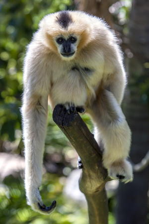 adelaide: A White-cheeked gibbon sits on a tree branch in its enclosure at Adelaide Zoo in South Australia. Stock Photo
