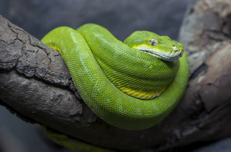 curled: A brilliantly coloured Green Tree Python curled up in its enclosure at the Adelaide Zoo in South Australia. Stock Photo