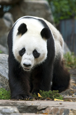 A Giant Panda takes a stroll in its enclosure at the Adelaide Zoo in South Australia. Banco de Imagens