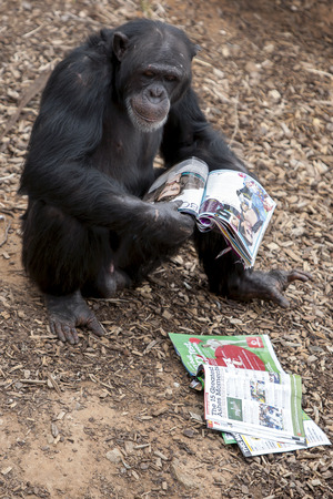 enclosure: A chimpanzee takes interest in a magazine placed in its enclosure at Monarto Zoo in South Australia. Treats are stuck to the pages of the magazine for the chimp to find and eat. Editorial