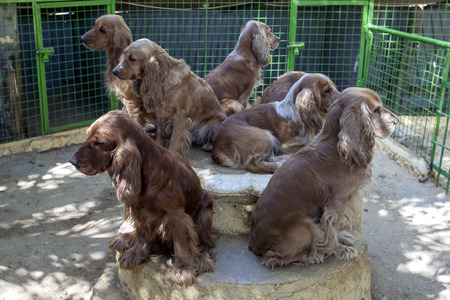 alexandria: A group of Cocker Spaniel dogs wait for someone to give them a new home at a animal zoo on the highway from Alexandria to Cairo, Egypt.