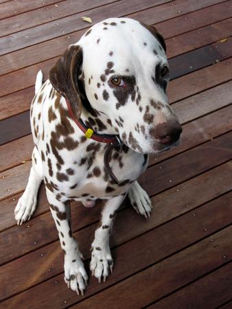 dalmation: A liver coloured Dalmation poses for a photograph.