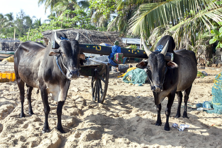 A pair of buffalo tethered to a cart on Arugam Bay beach in the early morning. They will eventually tow the cart loaded with fish to the local market. Stock Photo