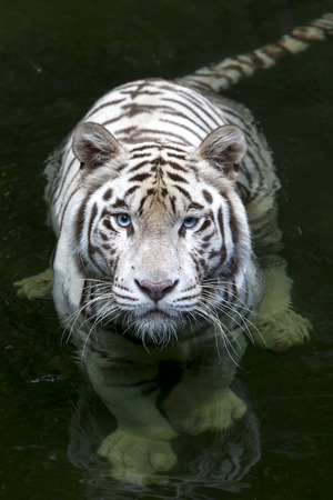 enclosure: A white tiger enjoys a swim in the moat surrounding its enclosure at Singapore Zoo in Singapore.