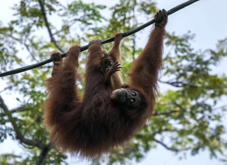 enclosure: An orangutan with its baby hang from a cable above their enclosure in Singapore Zoo in Singapore. Stock Photo