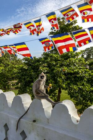 A Tufted Gray Langur enjoys eating a banana at the Thuparama Dagoba at the ancient site of Anuradhapura  in central Sri Lanka. The Buddhist flag is flying above the langur.