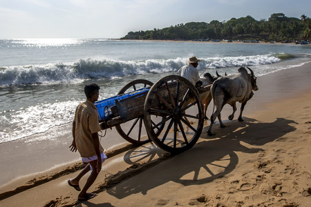 bullock: A pair of bullocks tow a wooden cart along the beach at Arugam Bay on the east coast of Sri Lanka. The driver is collecting fish from along the beach to take to a local fish market.