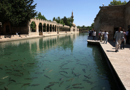 Carp fish swim in Balikli Gol (Pool of Sacred Fish) also known as Abraham's Pool in Golbasi Park in Sanliurfa in Turkey. In the background (left) stand the arched walls of Rizvaniye Vakfi Camii.
