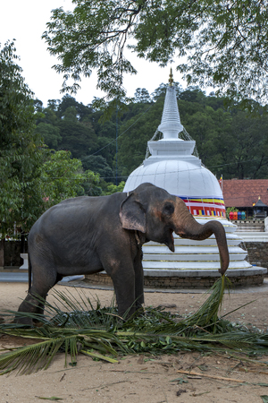 A ceremonial elephant feeding on palm leaves within the Temple of the Sacred Tooth Relic at Kandy in Sri Lanka prior to parading in the Buddhist Esala Perahera.