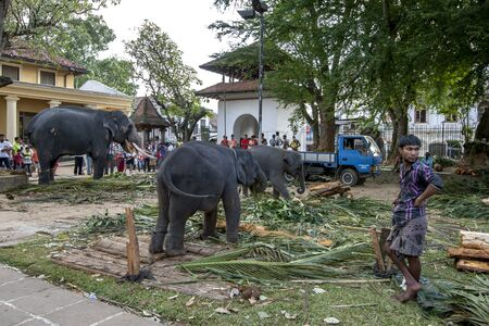 KANDY, SRI LANKA - AUGUST 17, 2013 : Ceremonial elephants including two calves feed on tree branches within the Temple of the Sacred Tooth Relic complex.