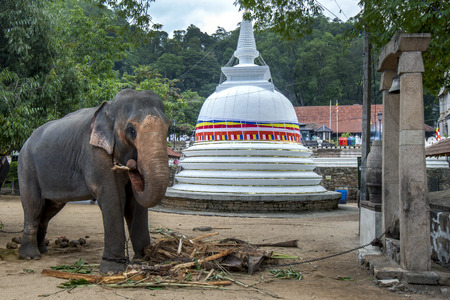 A ceremonial elephant standing in front of a Buddhist stupa within the Temple of the Sacred Tooth Relic complex at Kandy in Sri Lanka. It is feeding prior to parading in the Esala Perahera or great procession.