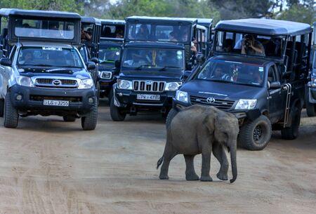A wild elephant calf crosses a road inside Yala National Park in front of a group of safari jeeps. Yala is located near Tissamaharama in Sri Lanka.