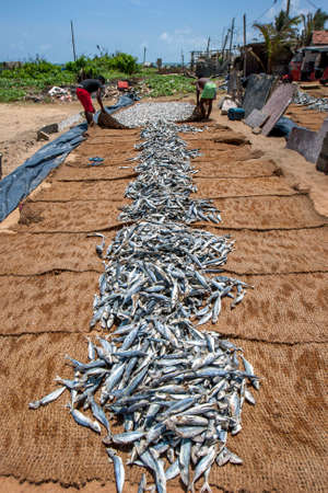 Fishermen place dried sardine fish into piles on hessian matting on Negombo beach in Sri Lanka prior to sale.