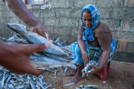 A lady sorting dried sardine fish prior to packing them at her home in Negombo on the west coast of Sri Lanka.