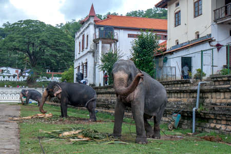 Ceremonial elephants which will parade in the Buddhist Esala Perahera tethered within the Temple of the Sacred Tooth Relic at Kandy in Sri Lanka.