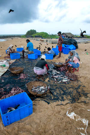 Workers gutting sardine fish on Negombo beach on the west coast of Sri Lanka prior to salting and drying the fish for sale.