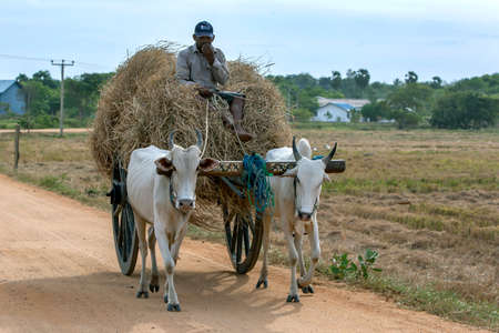 A farmer sits on a pile of hay in a cart being pulled by a pair of oxen near Panama on the east coast of Sri Lanka.