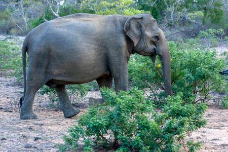 A wild elephant walks through bushland within Yala National Park near Tissamaharama in southern Sri Lanka. Foto de archivo