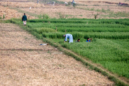 A man and boys harvest a green pasture crop from an agricultural field irrigated from the Nile River at Luxor in Egypt.
