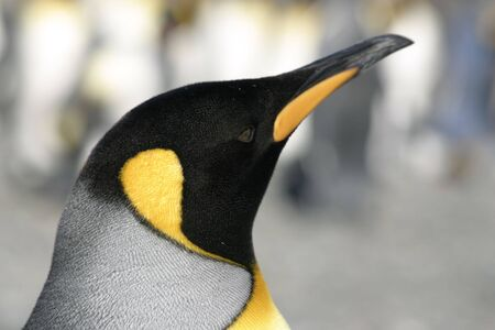Head of Emperor penguin in South Georgia. Portrait from the right side.