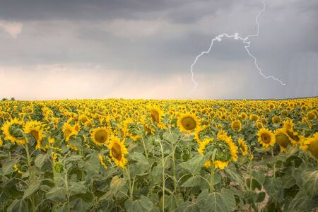 Sunflower field under storm. Cloudy sky and lightning is on it. HDR made from 5 bracketed pics.