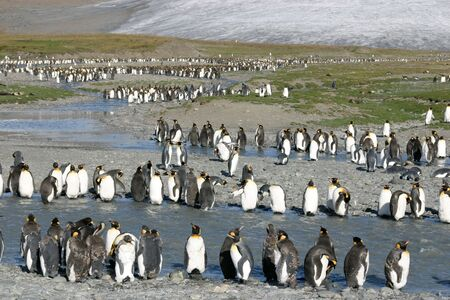 Big colony of king penguins in beach in South Georgia Stock Photo