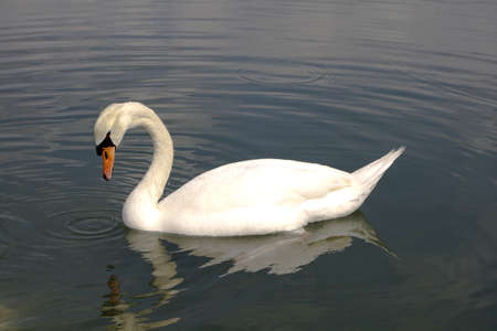 Beautiful swan in the water with reflection