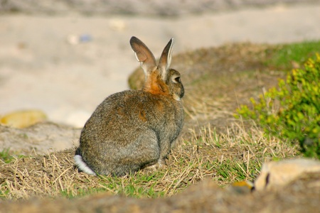 viewed from behind: rabbit in meadow viewed from behind Stock Photo