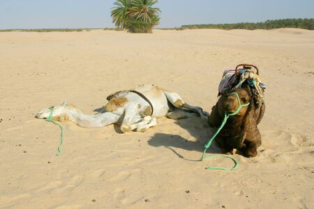 Two camels resting in the desert sahara photo
