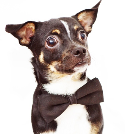Small and cute dog wearing bow tie