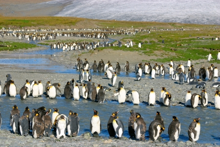 penguin colony: Big colony of young king penguins on beach in South Georgia