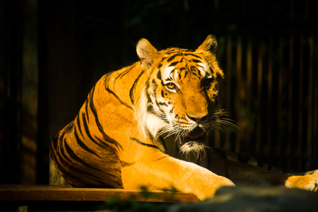 bengal tiger in forest show head and tiger see contact