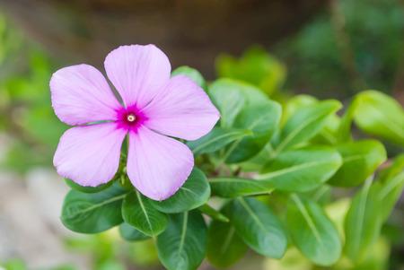 berros: flor rosada de berros