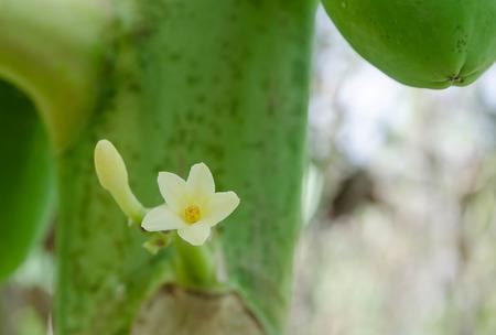 papaya flower: Papaya flower grows on trees.