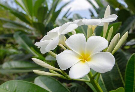 fragrant: White plumeria on the plumeria tree. Stock Photo