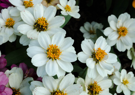 zinnia: Narrowleaf zinnia (Zinnia angustifolia) Stock Photo